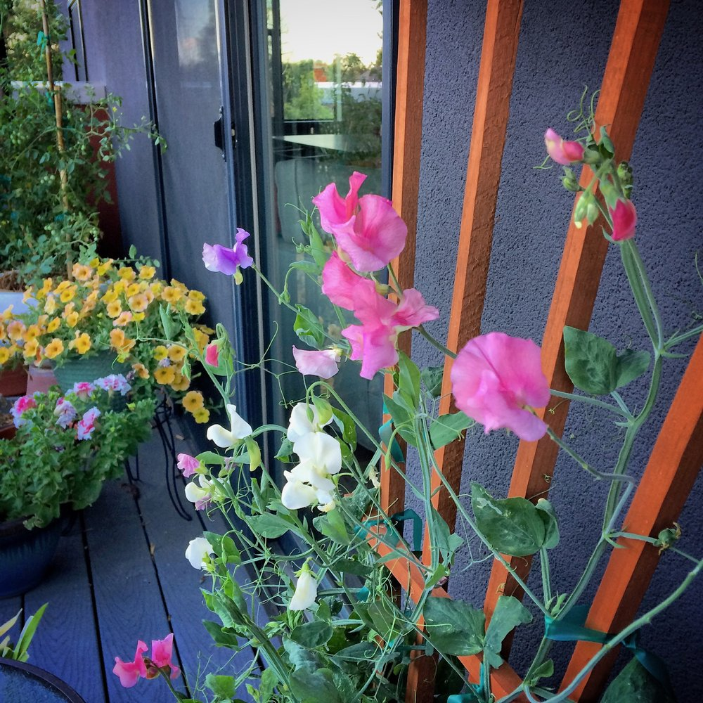 Growing sweet peas in containers on balcony, Denver