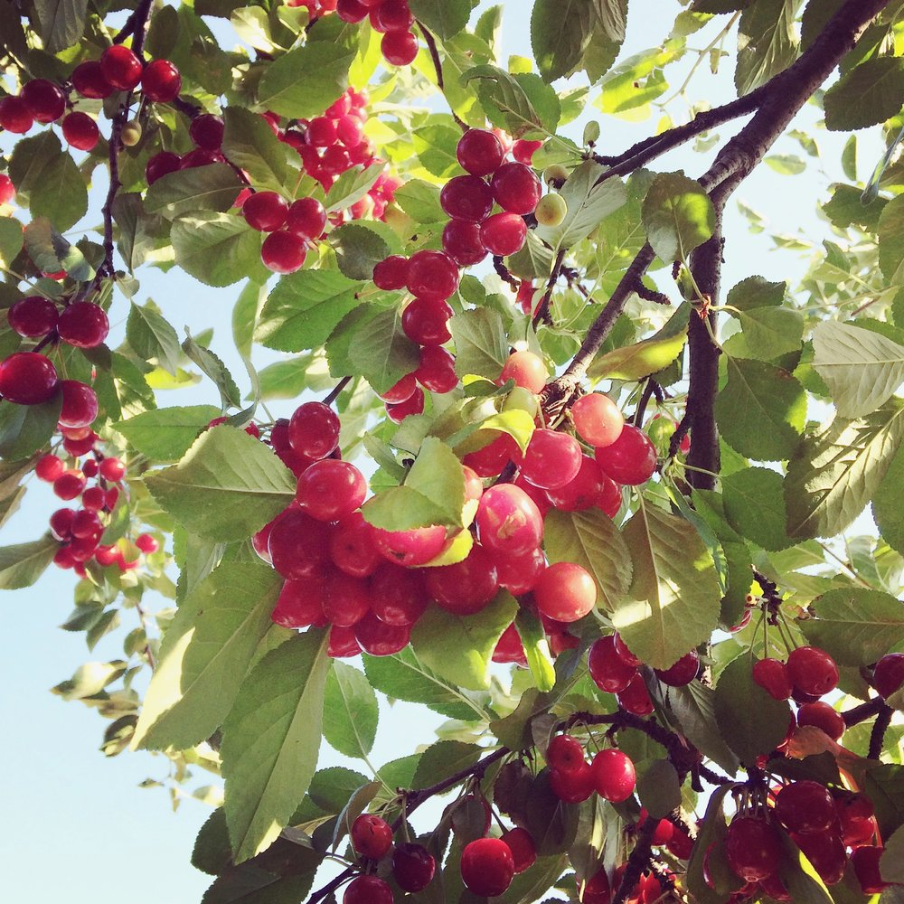 Tart cherry tree