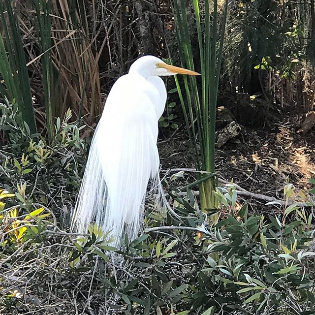 We saw so many beautiful birds several days ago at a local park, . I love FL. I'm pretty sure this is a great egret?  #birdwatching #florida #birds #greategret #nature #wildlife