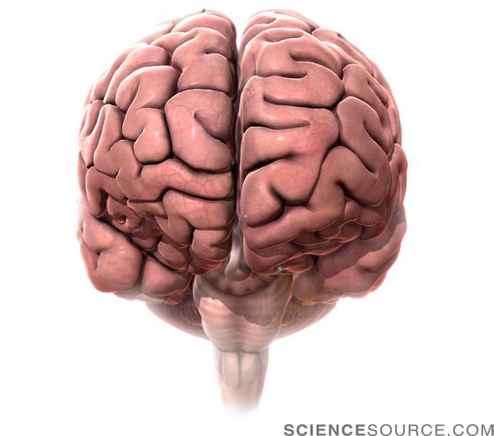 Human Brain, Anterior View