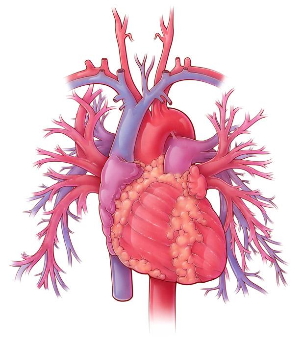 Heart and Pulmonary Vessels