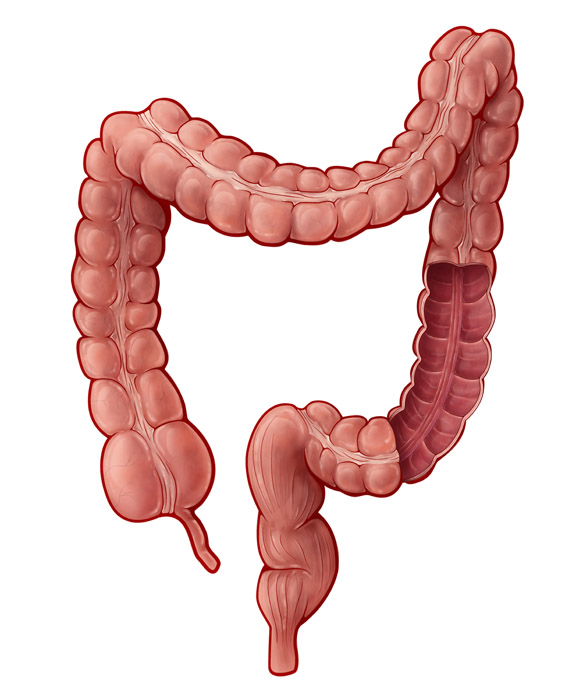 Large Intestine, Illustration