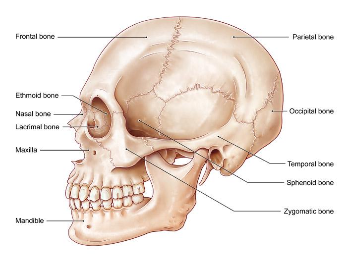 Lateral Skull, Illustration