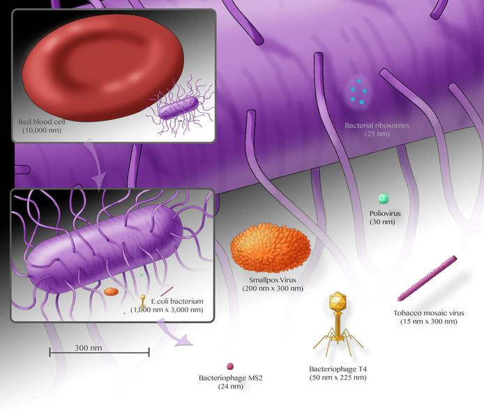 Bacteria sizes