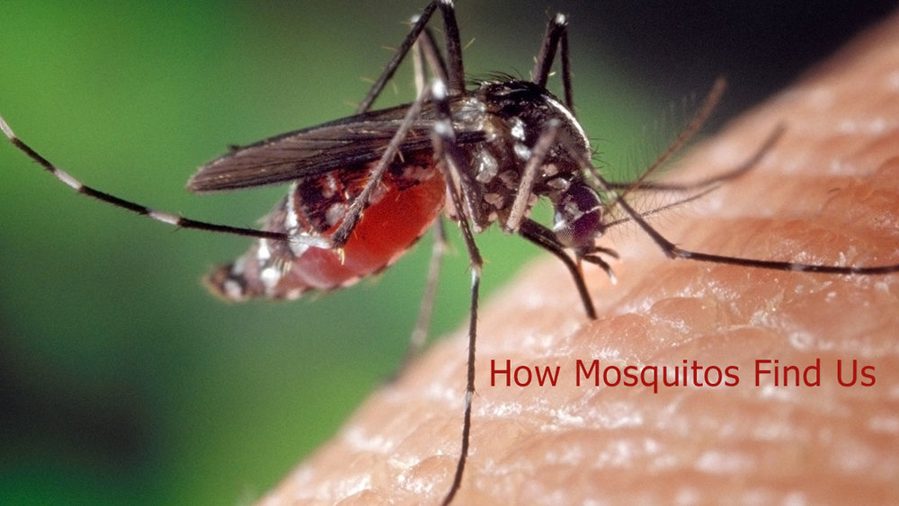 An Aedes Aegypti Mosquito biting a human.