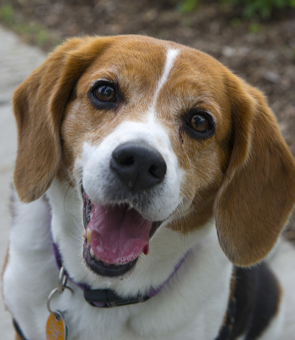 Sophie, 7, Beaglecubeguy@gmail.com