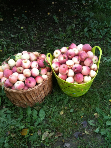 Apples from my grandparents garden in Romania; a rich harvest; October 2014