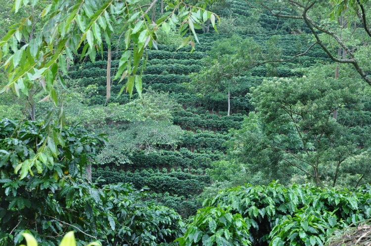 Coffee plantations, Costa Rica 2012