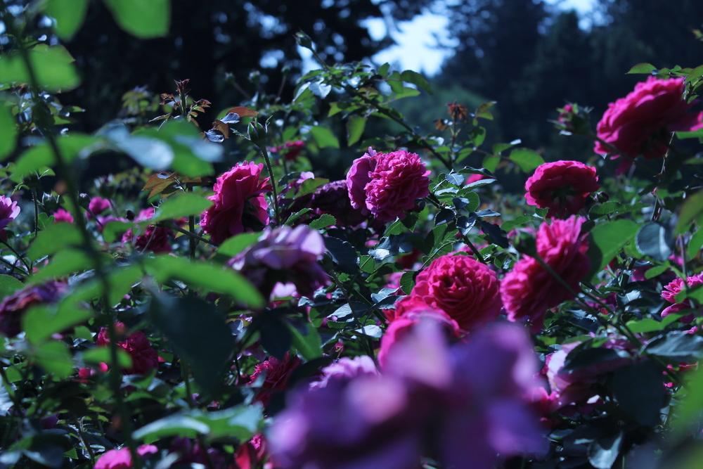 PDX Rose Garden