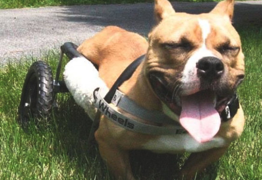March 2015  Huffington Post   Kiki, a Pit Bull Who Uses a Wheelchair