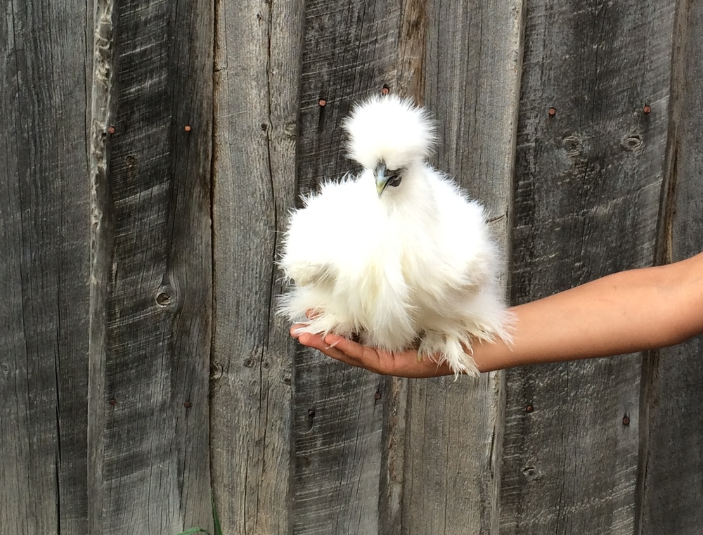 One of our silkie chickens!