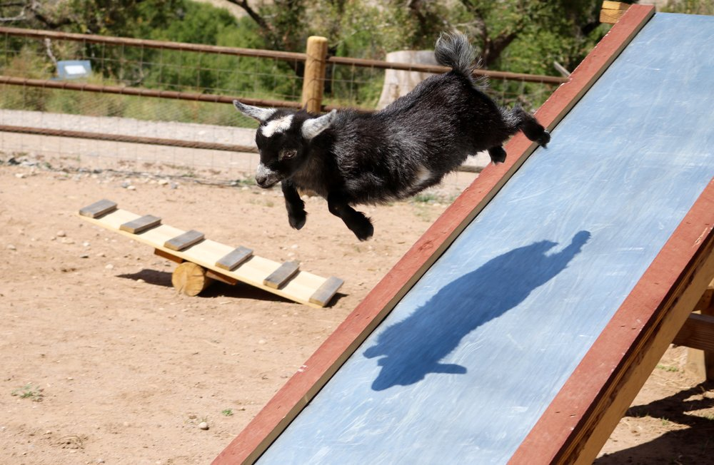 Jitterbug leaping down the slide.