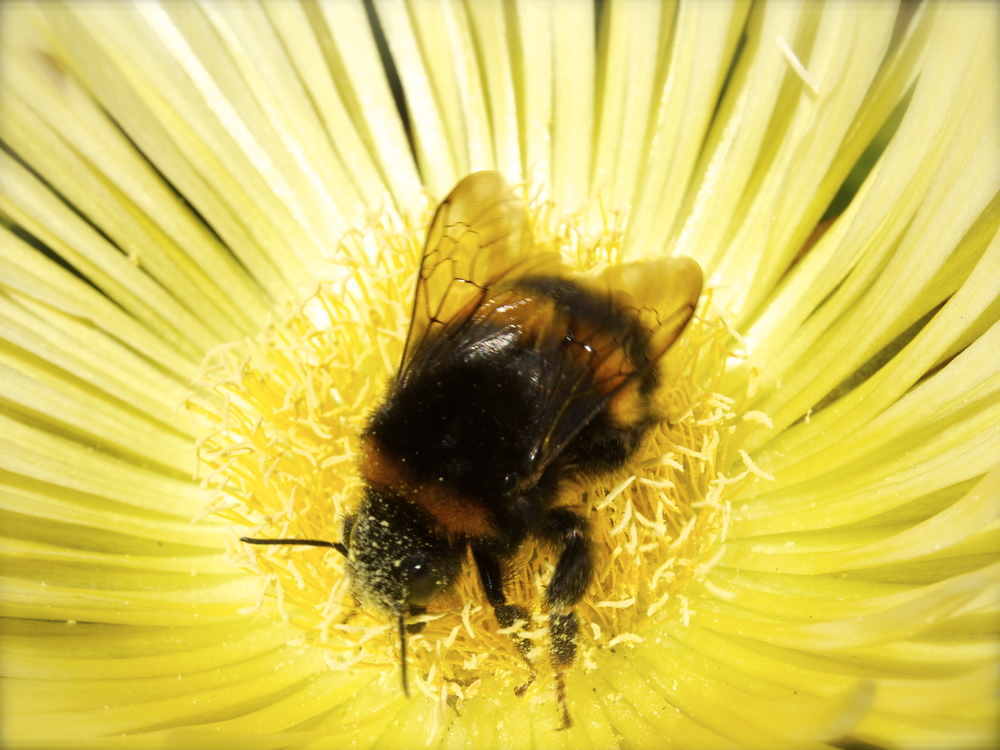 bee macro photography