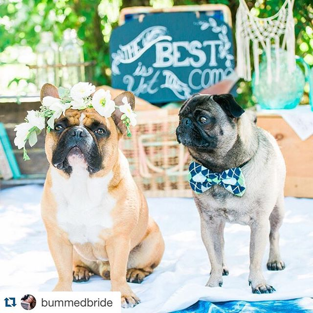 #Repost @bummedbride with @repostapp. ・・・ Being a #frenchie mama, you can imagine my excitement when this submission was in my inbox!  Visit BummedBride.com (link in bio) to see how these fur babies stole the shoot from their owner's #engagement session! || : @winterthirstphotography || Floral Designer: @sm_flowers || Event Planner: @_surpriseevents || Cake Designer: @cakeandgiraffe #pin  Tag a dog lover!  #frenchbulldog #furbabies #proposal