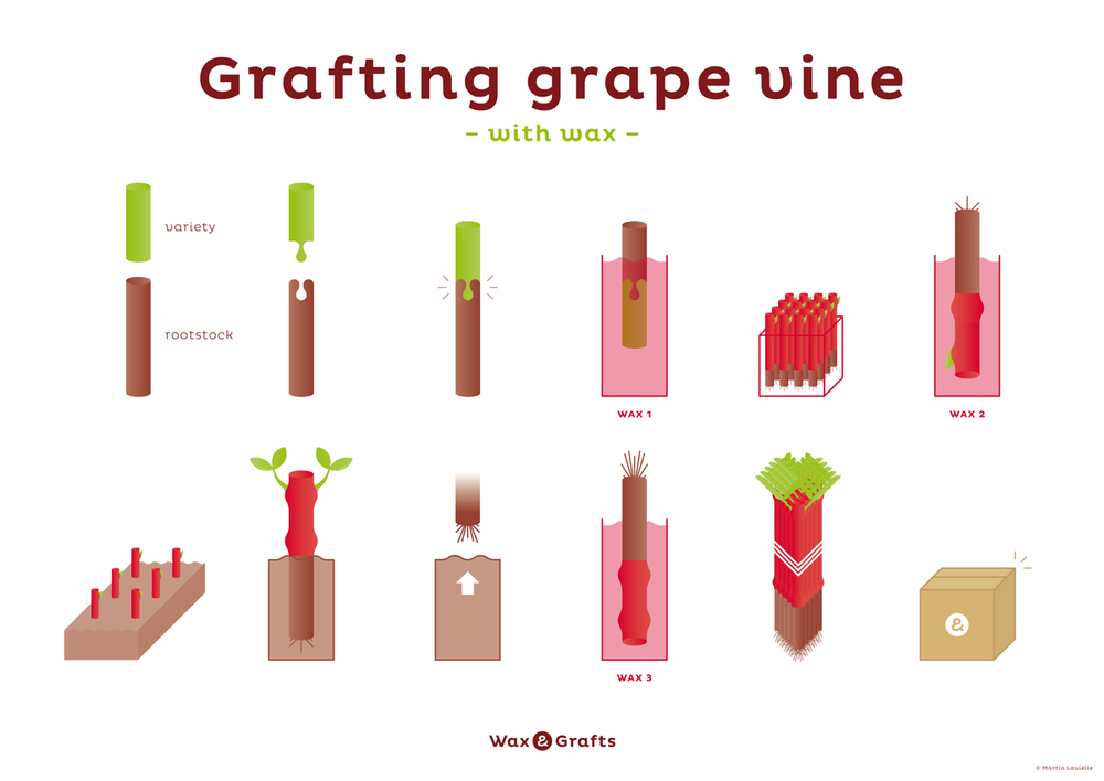 graftting_grape_vine_with_wax_process.jpg