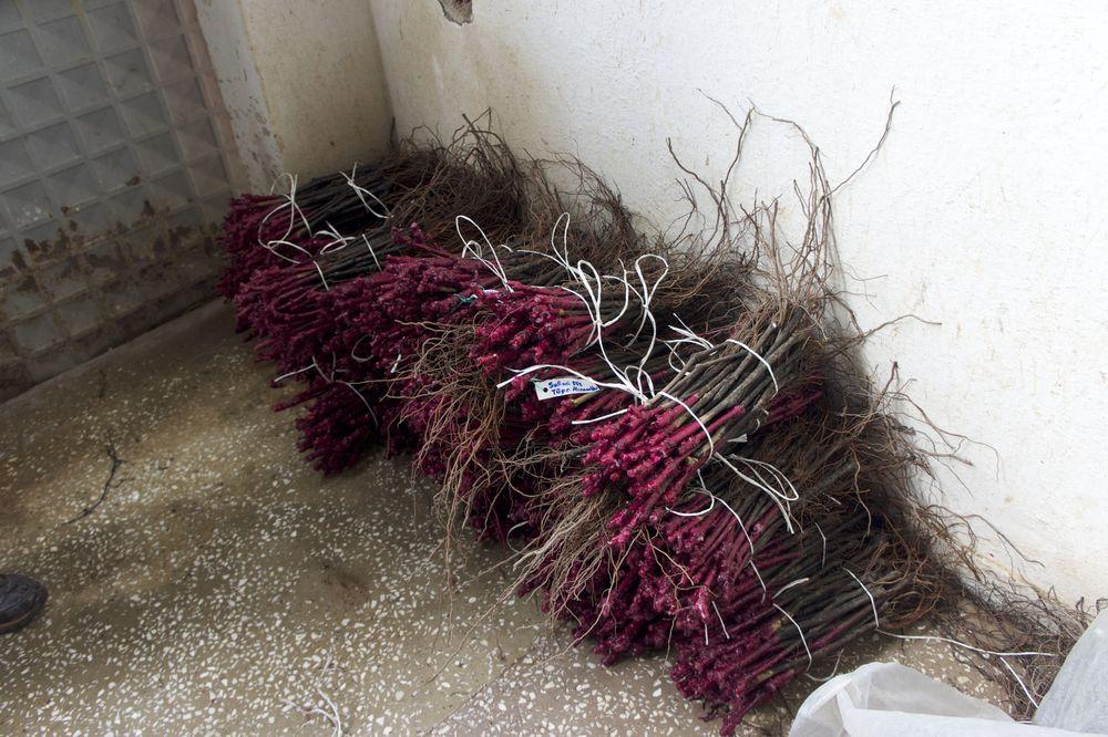 Turquie, Manisa, fagots plants greffés et prêts à la livraison, janvier 2014.jpg