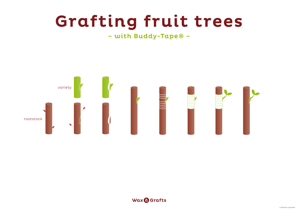 grafting_fruit_trees_with_buddy_tape_process.jpg