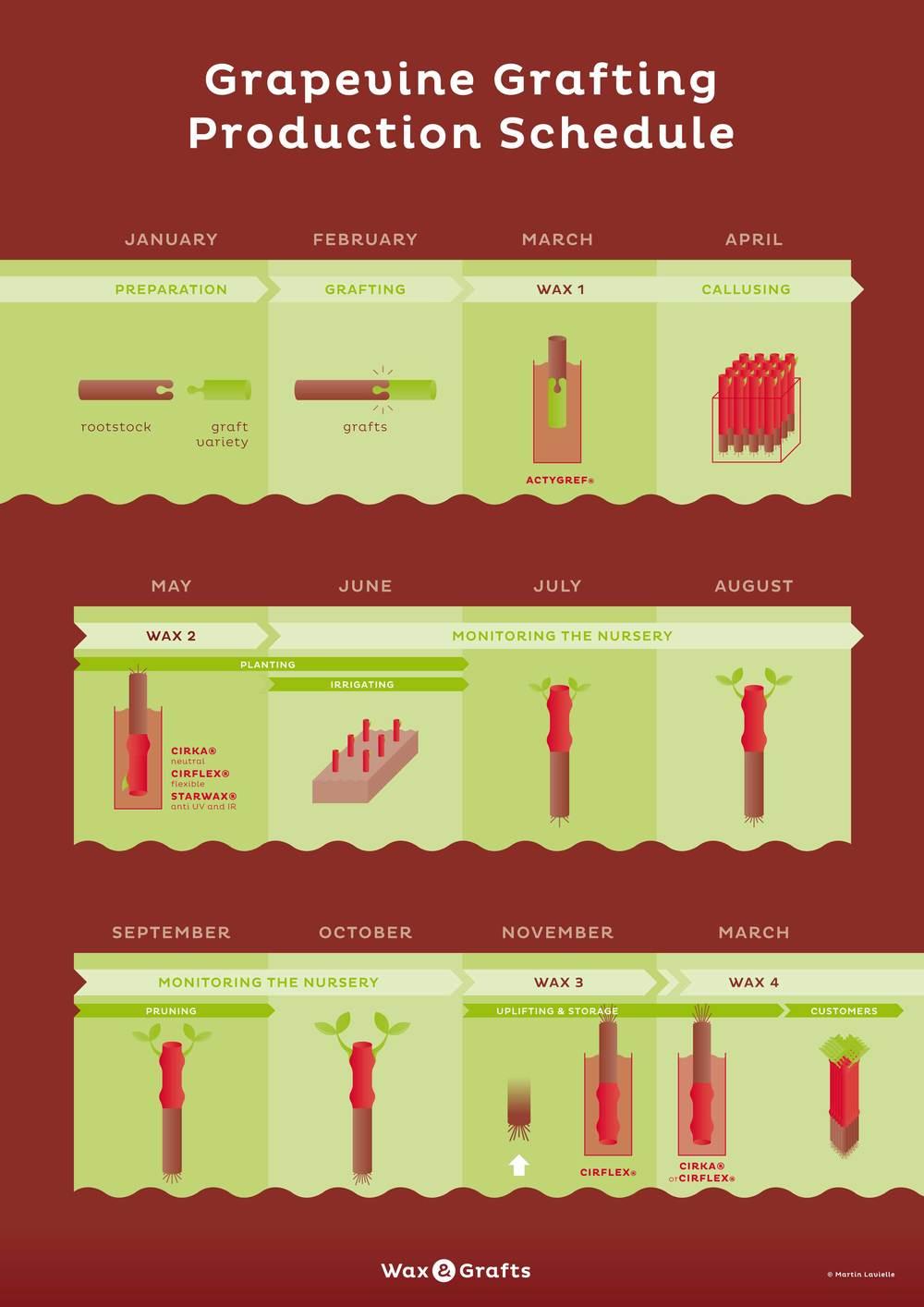 Vine plant production process (Nothern hemishpere)