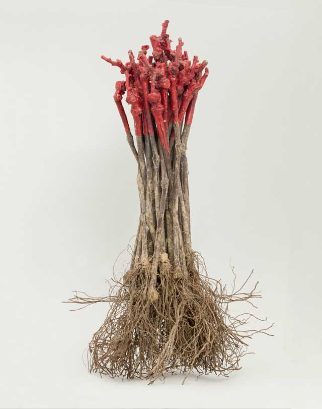 Grafts are gathered in bundles of 25, then packed in special plastic bags and boxes. These boxes will be placed in cold rooms until they are eventually delivered to the customer (viticulturists).