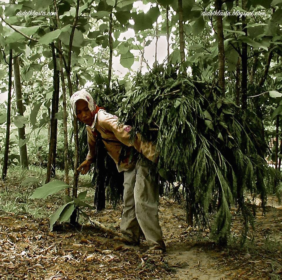 kayu jati hidup, miskin dan mencari makan