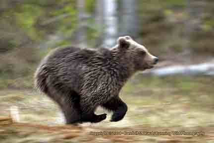 bear-young-running-by-lake-t.jpg