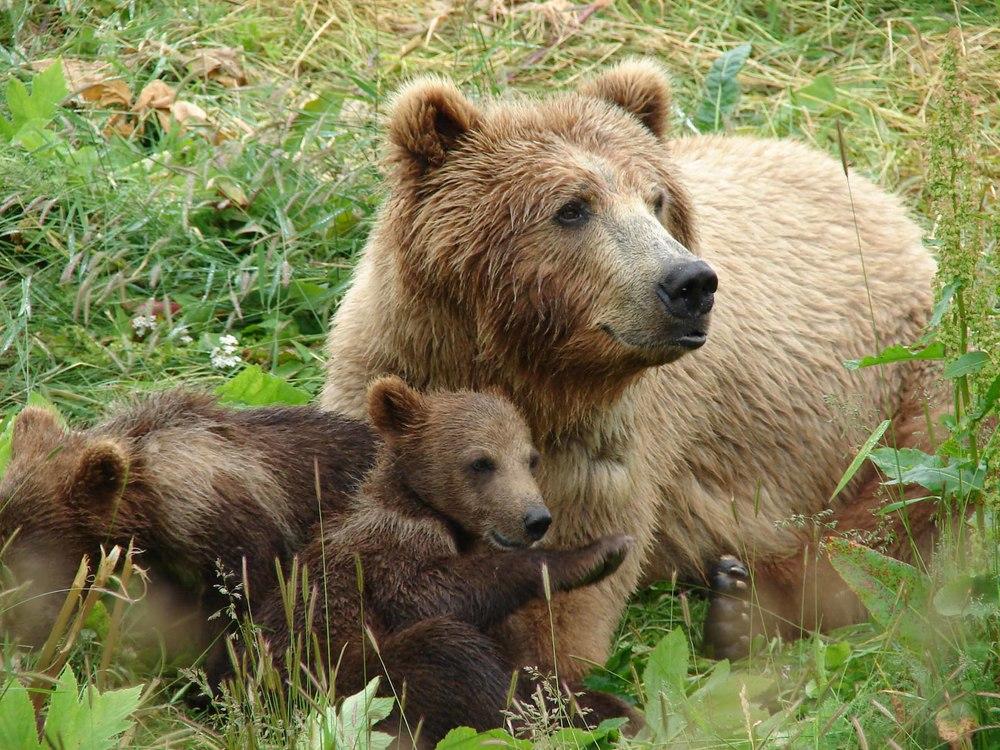 mama_bear_with_cubsx.jpg