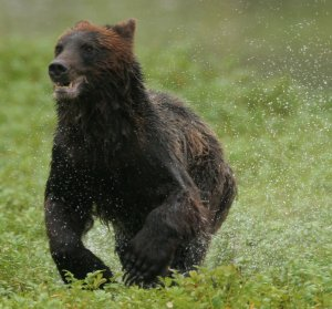 running_bear.jpg