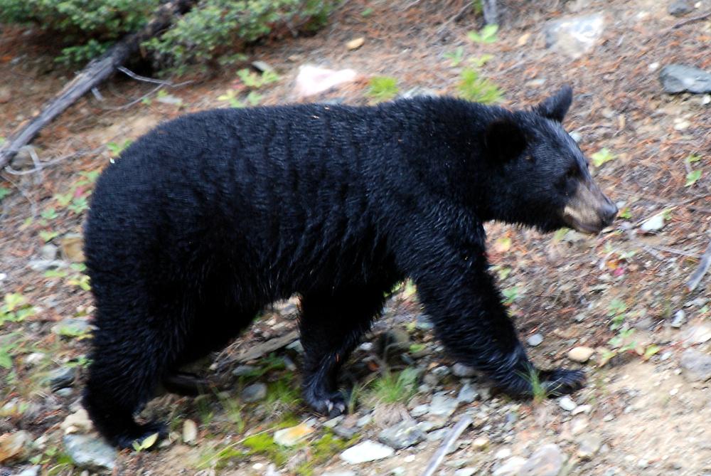 Canadian_Rockies_-_the_bear_at_Lake_Louise.jpg