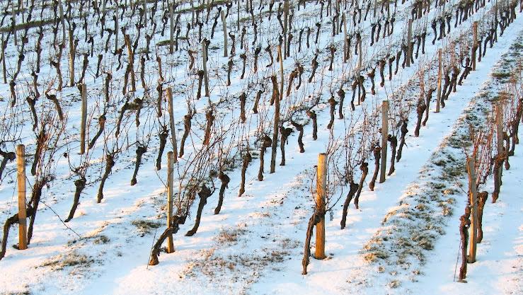 snow in the vineyard 2012 IMG_3300.JPG