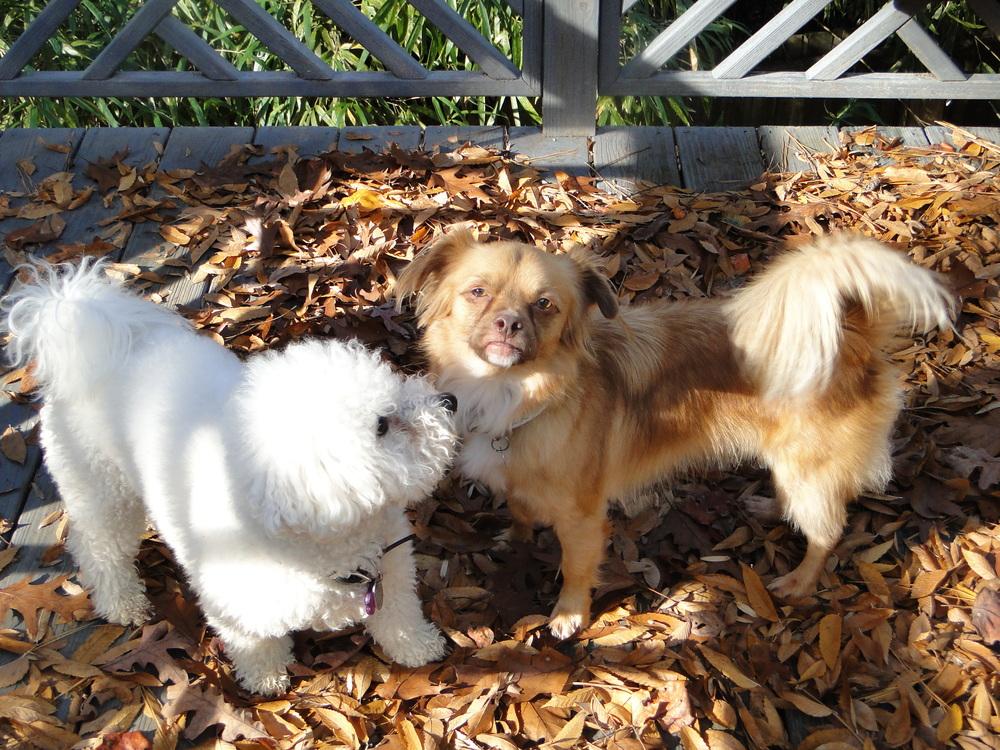 Foster Dog, Mickey with Mac-- By Kiki