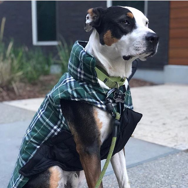 Ladies and Gentlemen 'tis the eve of St. Patty's Day and @buckthemutt_sf is struttin' his stuff with his color coded Ruff-Guider leash. He's fly and he knows it. #stpatricksdayoutfit #greendog #superfly #stpattysdog #irishdogsofinstagram #dogsofinstagram