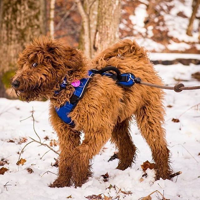 If I can just stay still, blend in, and not give away my position...maybe...just maybe I can stay out in the snow longer! Such a great photo @rossirhymeswithozzie! #captionthis #dogsofinstagram #snowdog #climbingropedogleash #adventuredog #upcycle #canadiandogs
