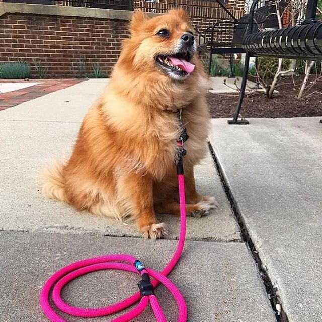@tripawdfoxxy not only has one of the best IG handles around, but SHABAM 💥 look at that foxy lady with her fabulous pink Surepaw leash 🦊! Thanks for posting this one! #cutedogsofinstagram #dogsofinstagram #dogleash #upcycle #threeleggeddog #foxylady #climbing #climbingrope #climbingropeleash #pink #dogmodels #leash #handmade #zerowaste #dogoftheday #ilookgood