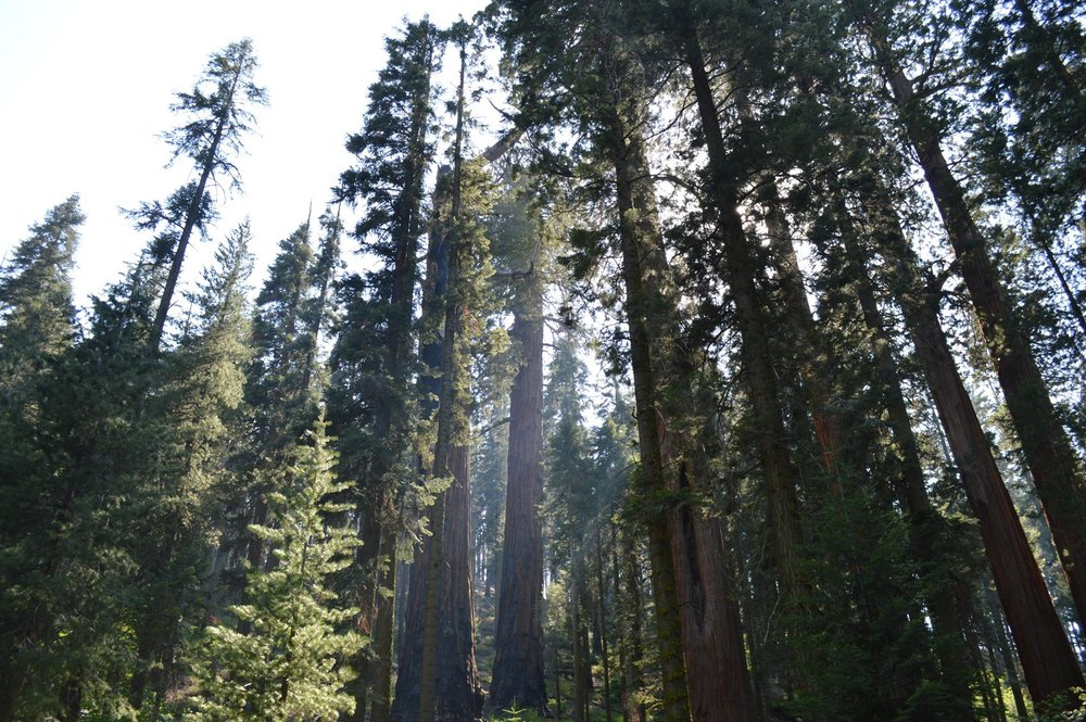 Sequoia and Kings Canyon National Park is the nation's second-oldest, est. 1890