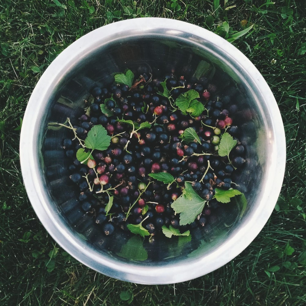Picking Black Currants