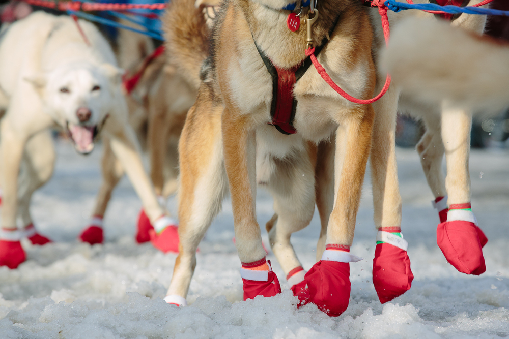 "Iditarog sled dogs' paws are protected by fabric dog ""booties"" at the Ceremonial start of the 2015 Iditarod sled dog race in Anchorage, Alaska on March 7, 2015."