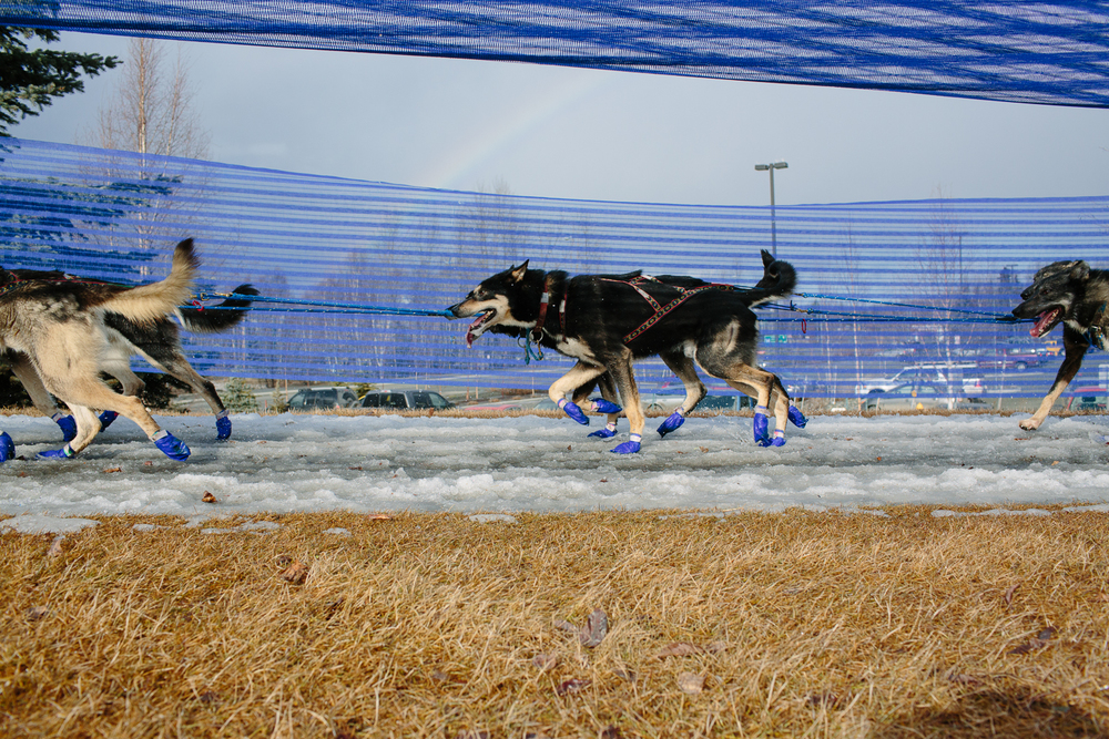 Dog teams ran next to bare grass in the unusually warm temperatures and limited snow during the Ceremonial Start of the 2015 Iditarod. Anchorage, Alaska. March 7, 2015.