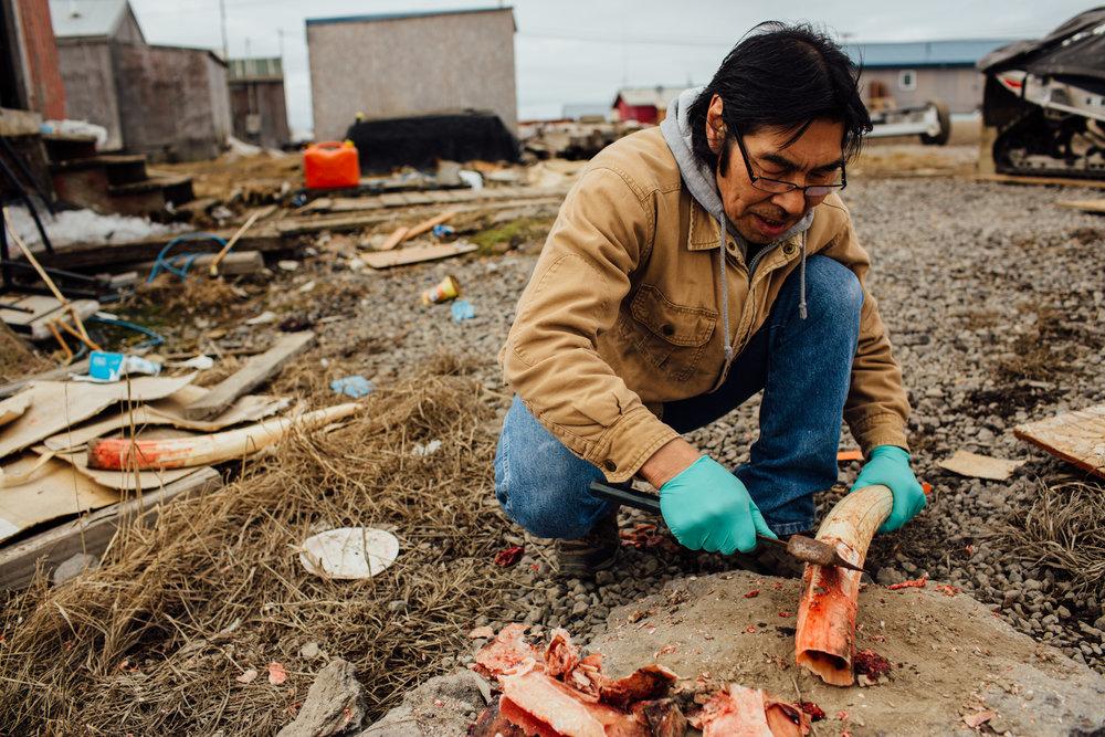Ben Pungyawiyi cleans a walrus tusk, preparing it for carving. Savoonga, St. Lawrence Island, Alaska.