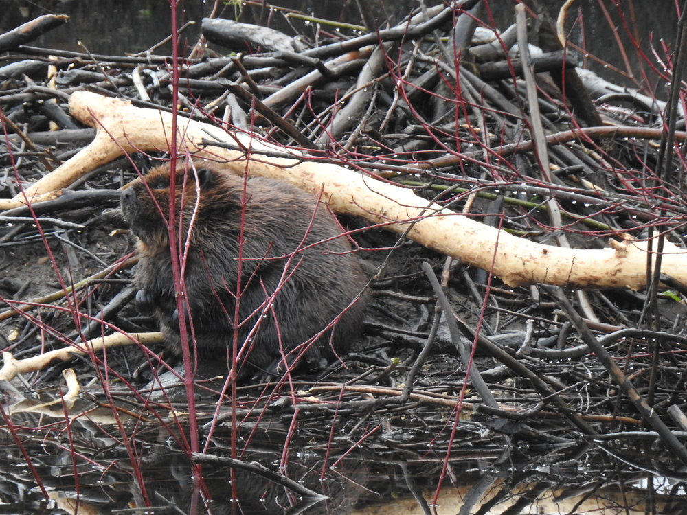 FRED - SPROAT LAKE LANDING PAPA BEAVER