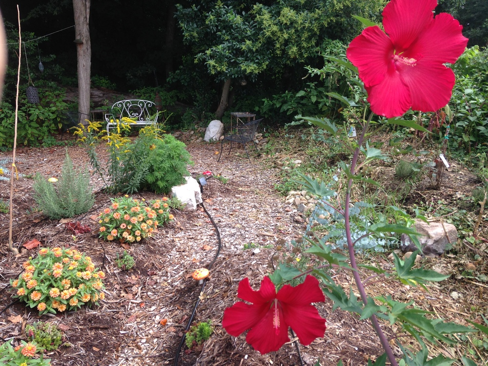 Hibiscus, Zinnias & Goldenrod