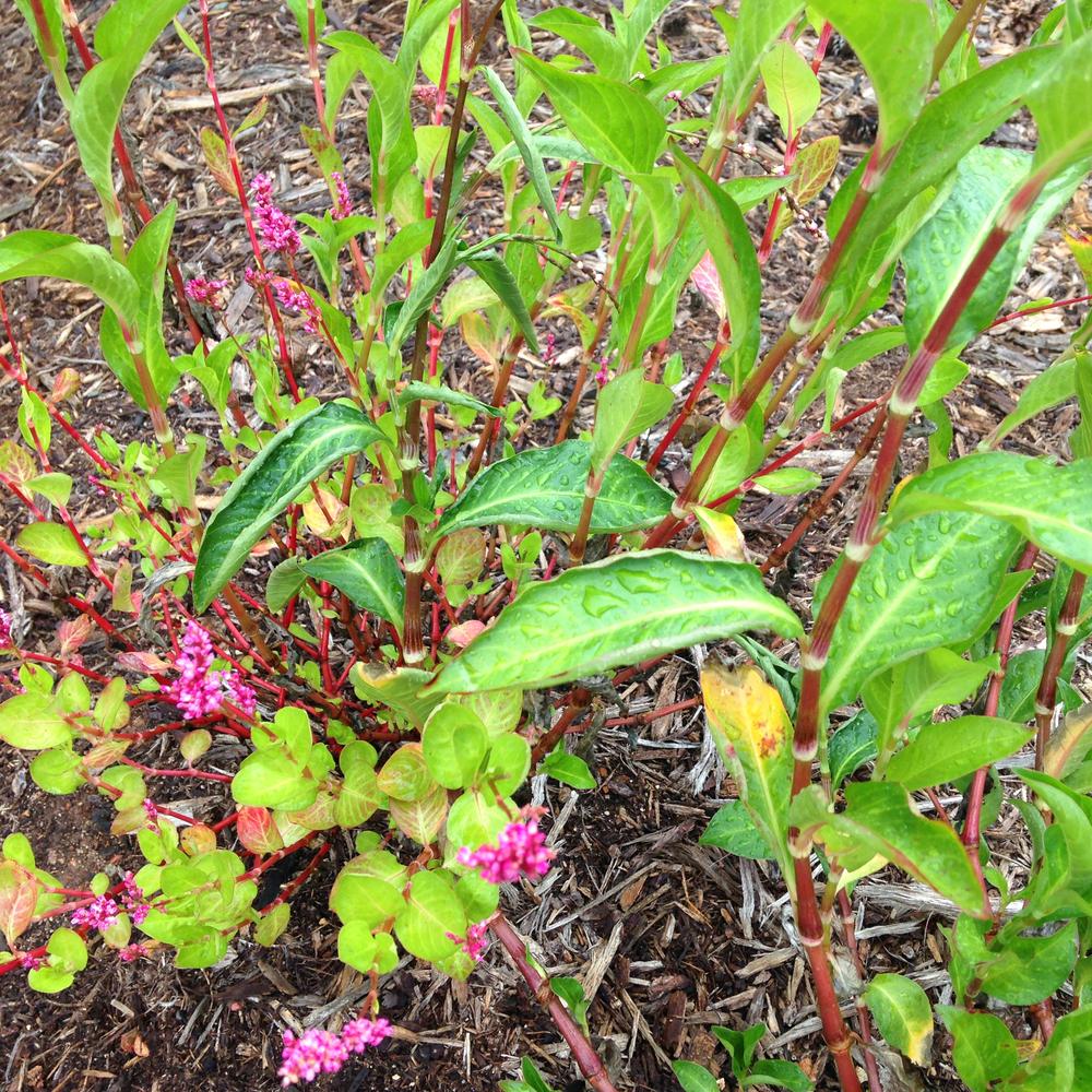 Indigo plants are flowering