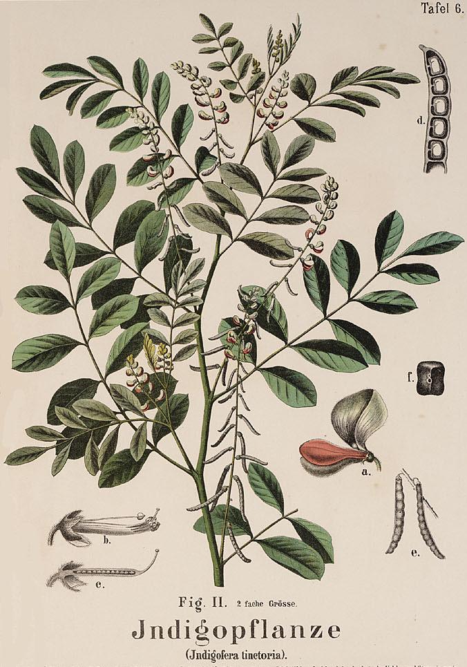 Indigofera tinctoria  (Hermann Zippel & Carl Bollmann 1905)