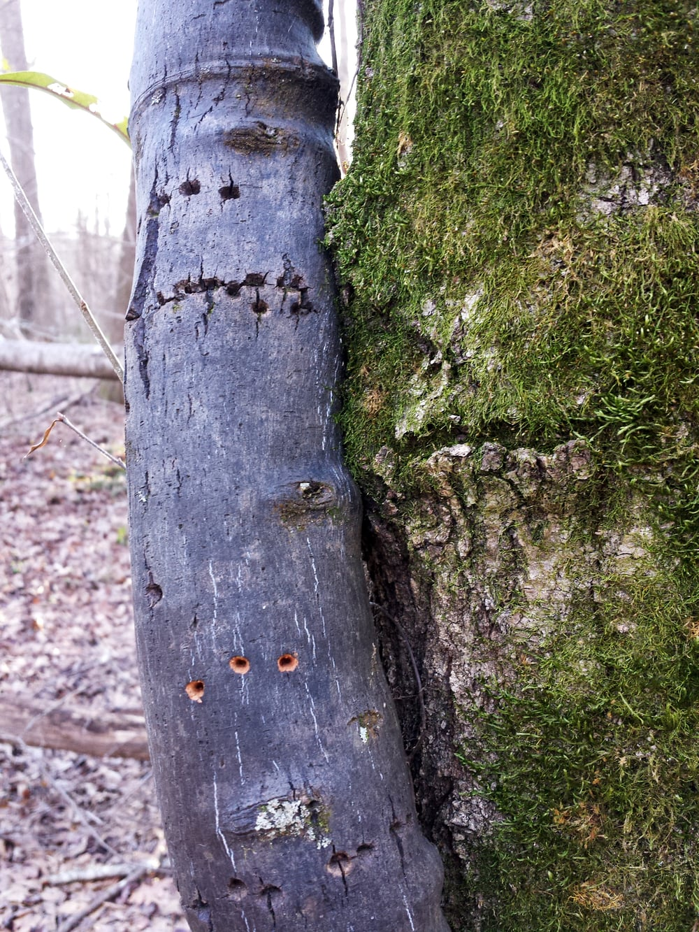 sapsucker holes in a supplejack vine