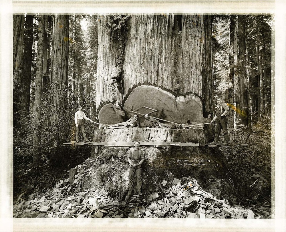 "Redwoods in California.  A tragic mistake, indeed, and a reminder that not all things should be considered, ""here for the taking"".  As we look back, there is much to be learned from our previous oversights.  But even still, the resilience and hardworking nature of those before us is so impressive to me:  I find myself in awe at photos like this, stuck somewhere between admiration, and disappointment."