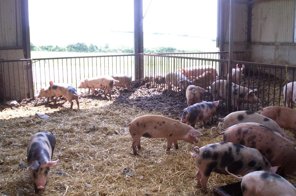 schweinefreunde forum das kranke schwein schnupfen. Black Bedroom Furniture Sets. Home Design Ideas