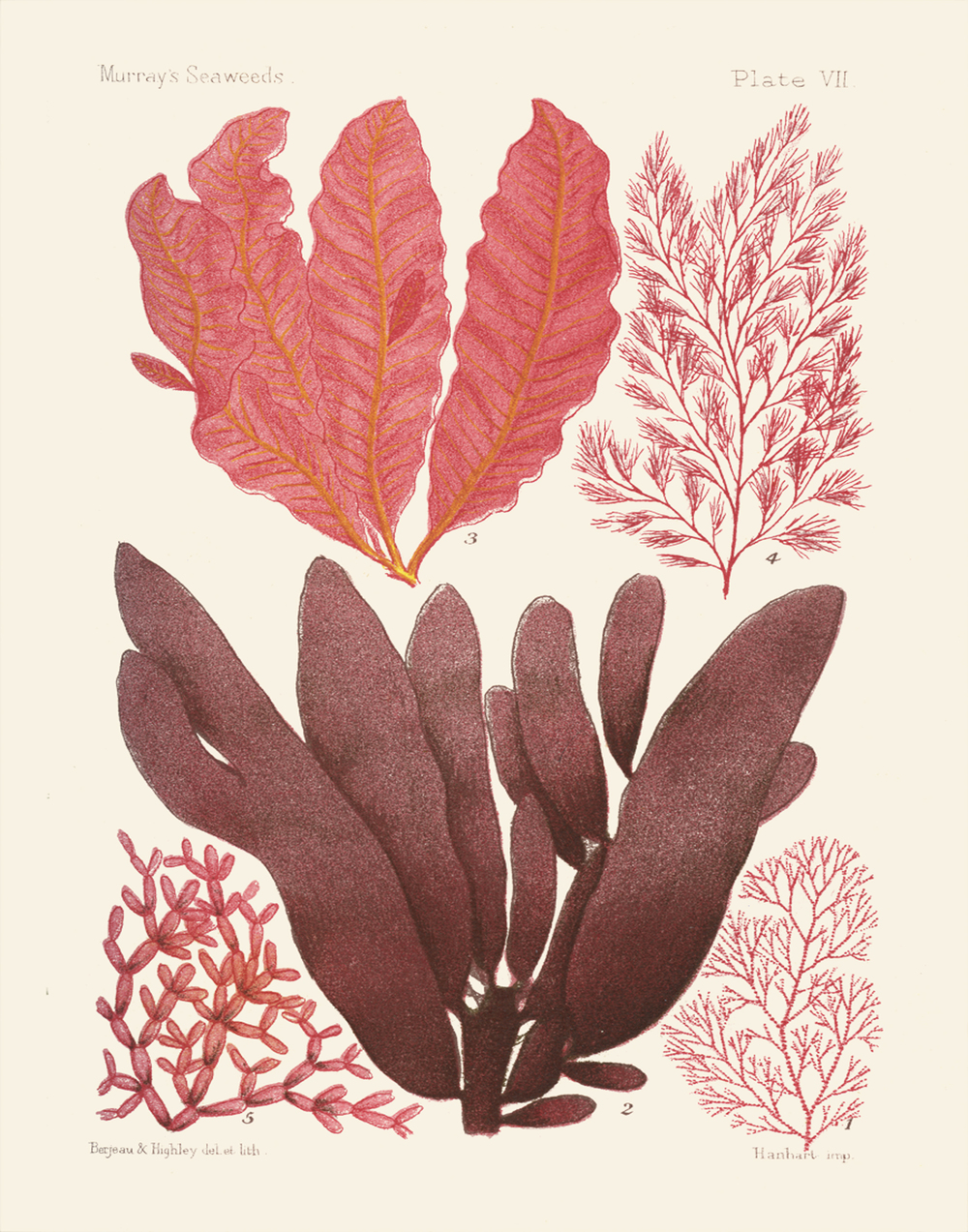 Kelp illustrations from Museum Collection