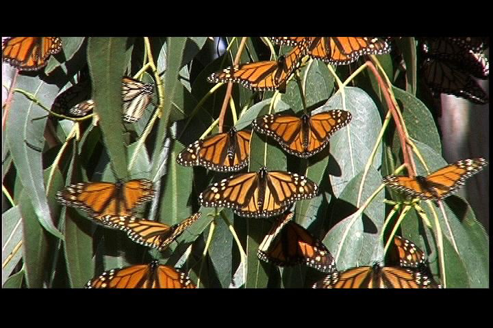 Sunning monarchs in Pacific Grove's monarch sanctuary