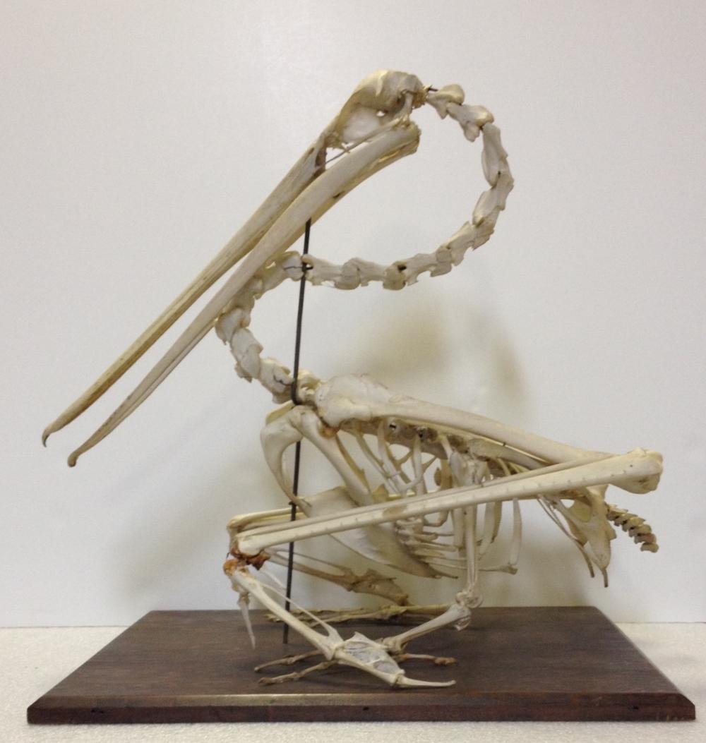 Brown pelican, articulated skeleton