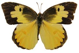 Male Dogface Butterfly