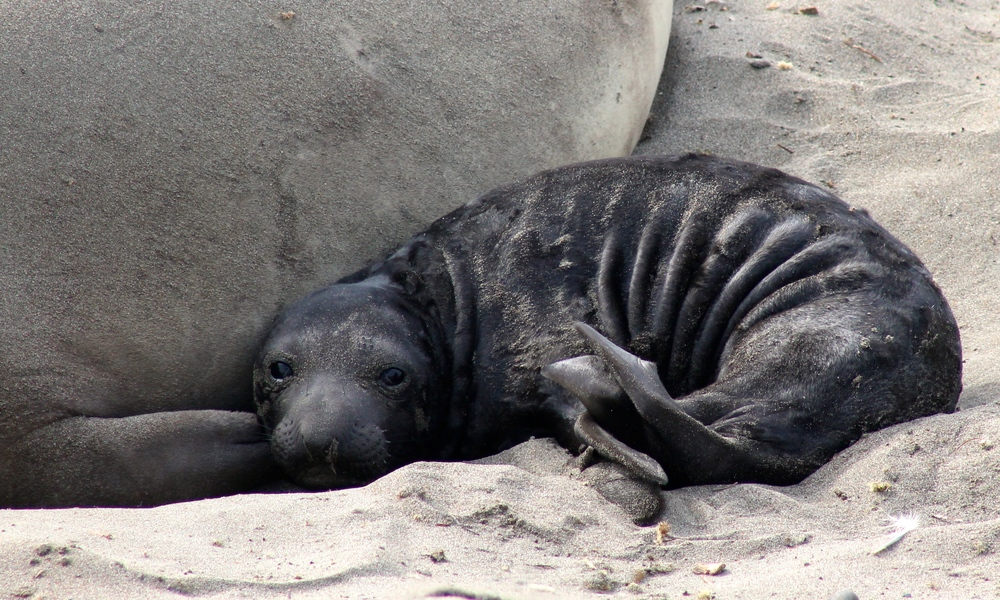 Newborn elephant seal, less than one week old.